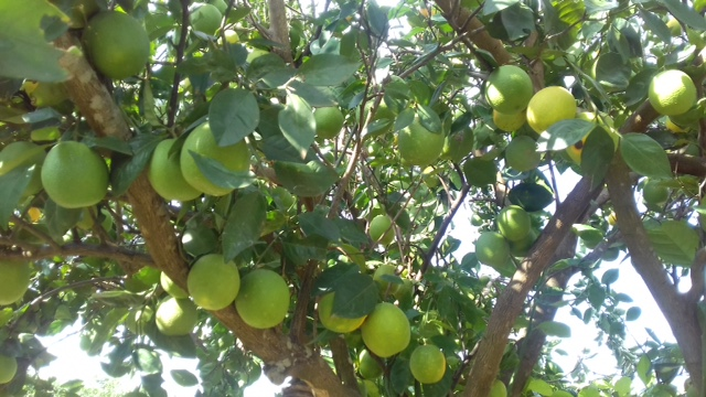 Soroti Fruit Trees